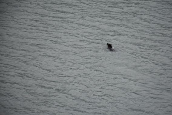 Alaska Black Bear swimming in water