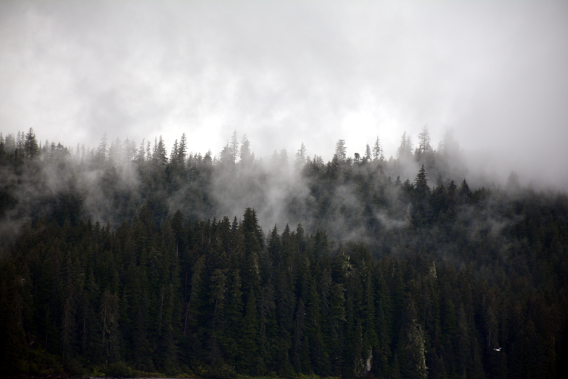 Alaska Misty Forest