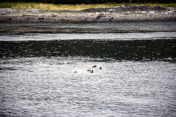 Alaska Sea Lions Raft