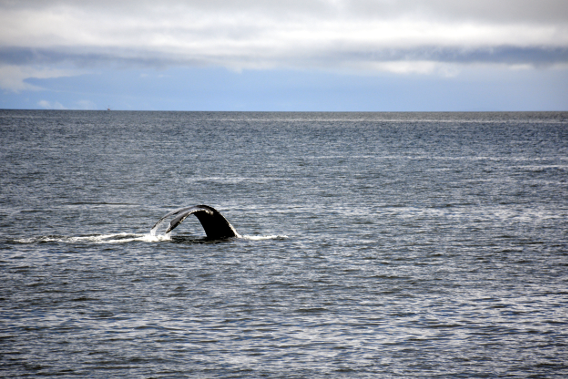 Another Whale Dive Alaska
