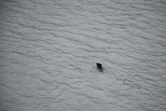 Grizzly Bear in Alaska Ocean