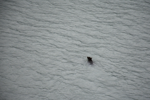 Grizzly Bear in Alaska Ocean