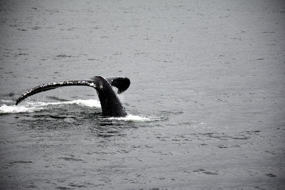 Close Humpback Whale Tail Dive