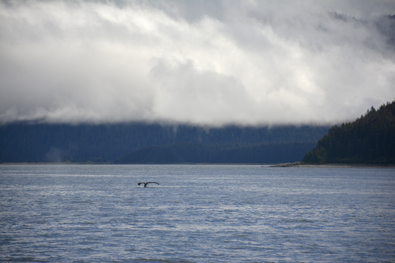 Far off Whale Dive