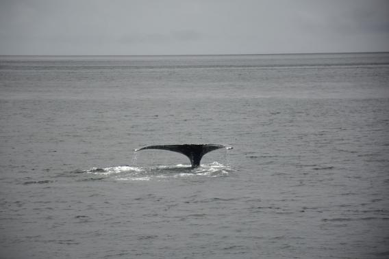 Last Whale Dive