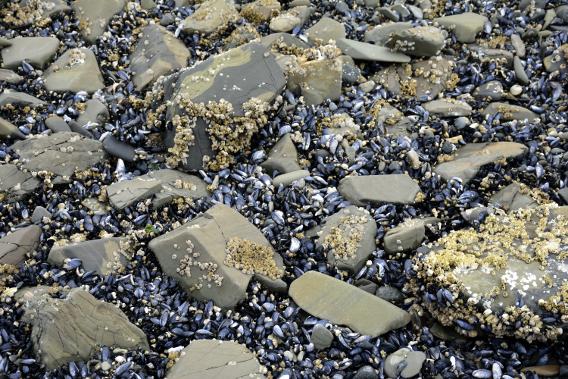 Mussels in Alaska