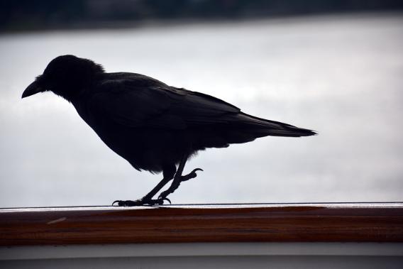 Raven on Cruise Balcony