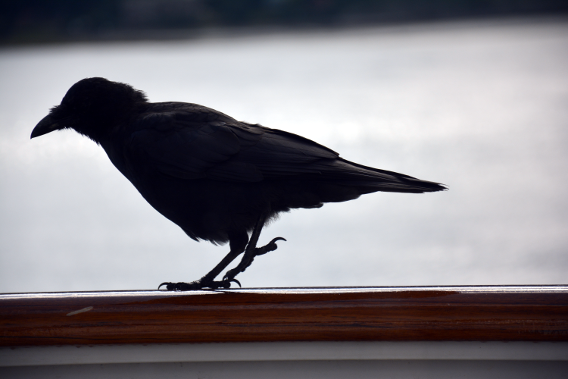 Raven on Cruise Balcony