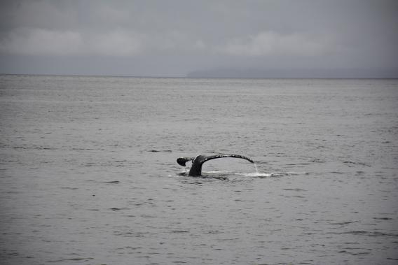 Whale Humpback Watching