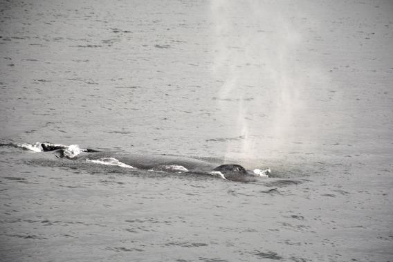 Humpback Whale Spray
