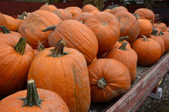 Sonny Acres Fall Pumpkin Patch