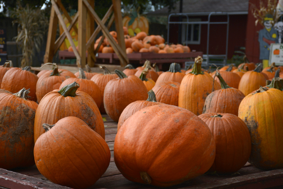 Sonny Acres Farm Pumpkin Wagon
