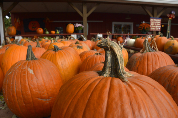 Sonny Acres Pumpkin Farm Illinois