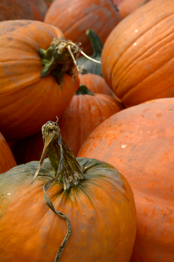 Sonny Acres Farm Pumpkins