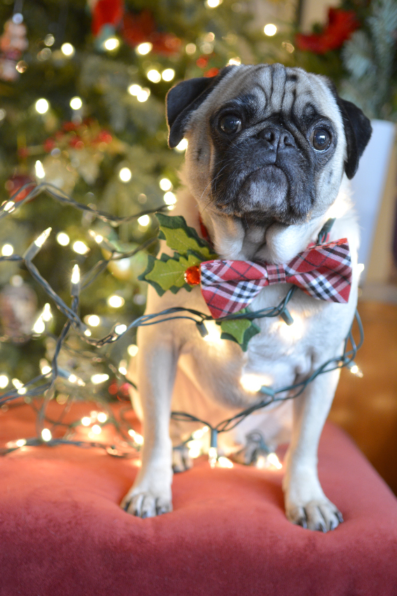 Christmas Pugs 2