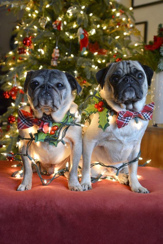 Christmas Pugs 4