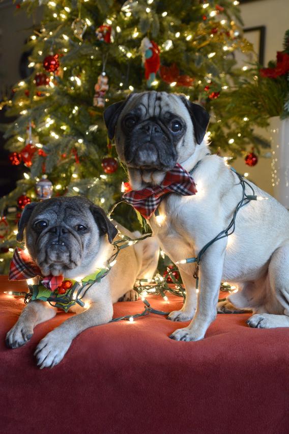 Christmas Pugs 6