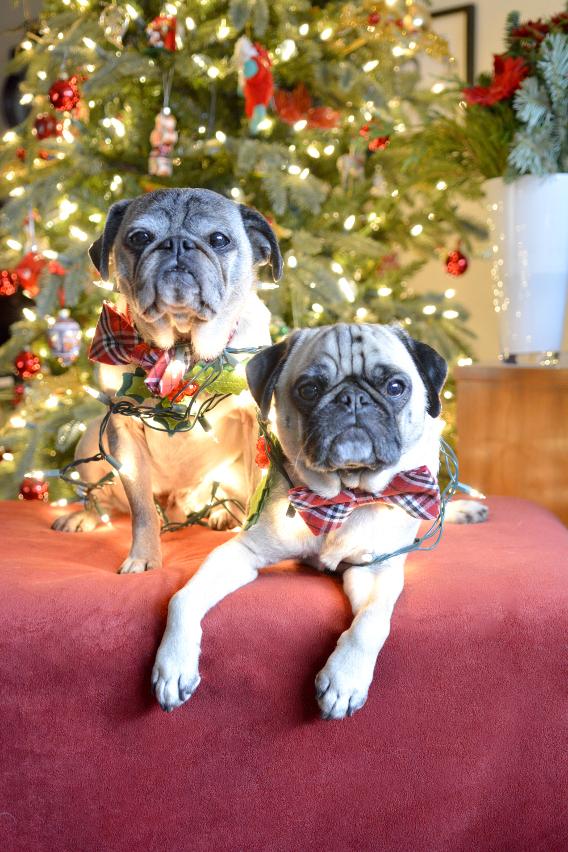 Christmas Pugs 7
