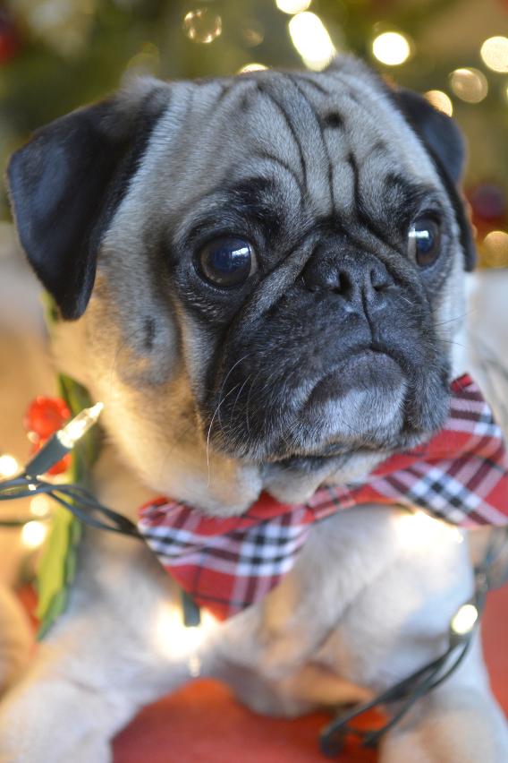 Christmas Pugs 8