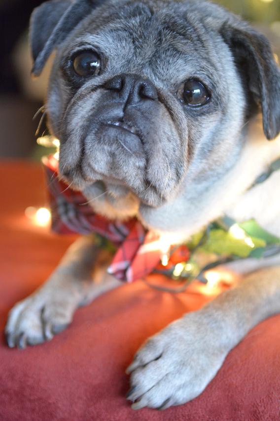 Christmas Pugs 9