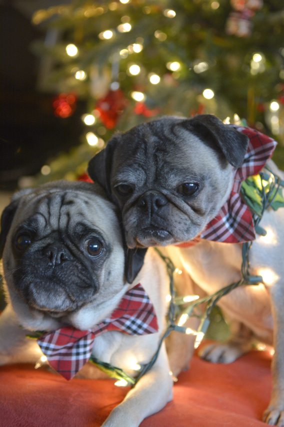 Christmas Pugs 10
