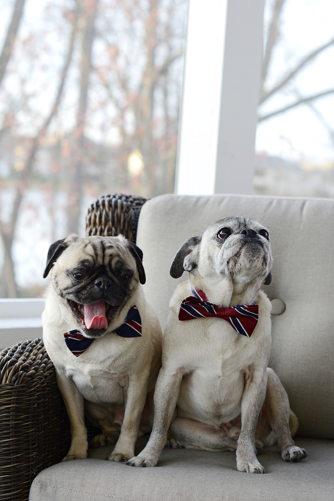 Thanksgiving 2015 Pugs 3