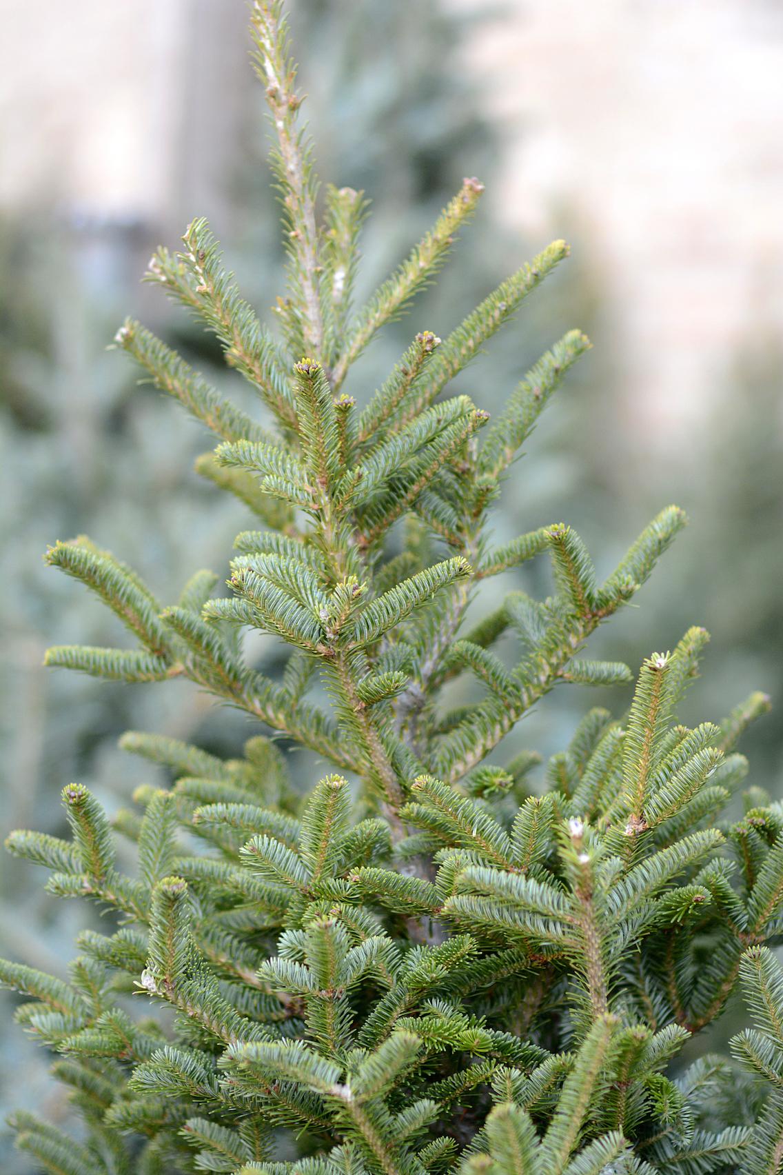 Chicago Christmas Tree Farm 1
