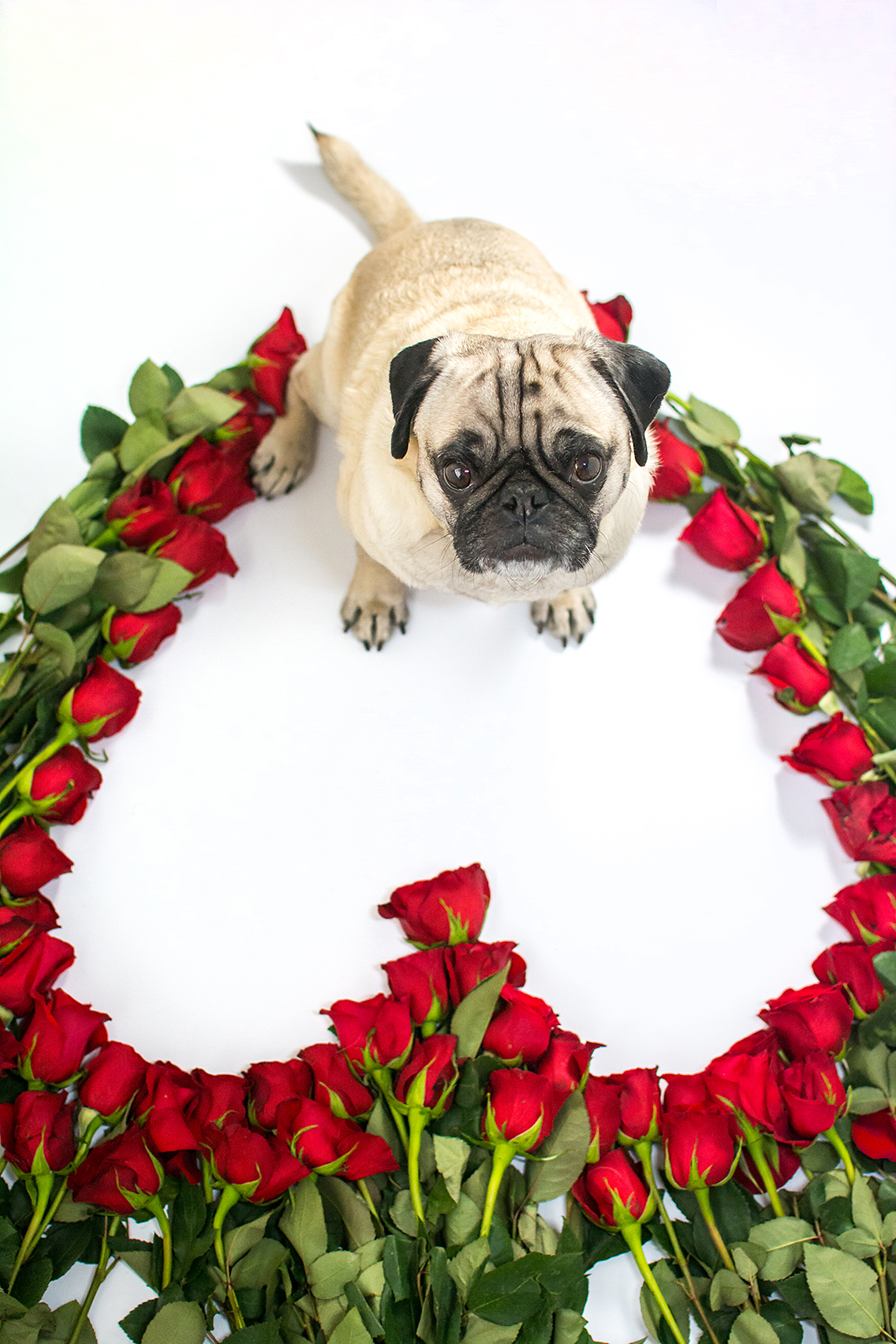Valentine's Day 50 Roses Pug 1