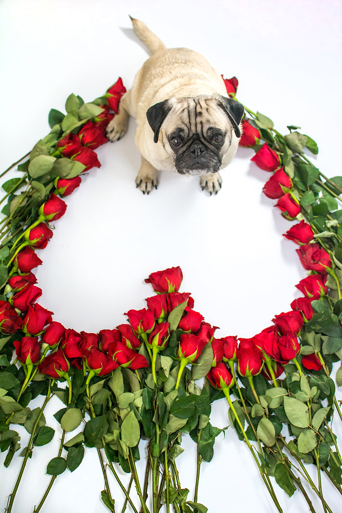 Valentine's Day 50 Roses Pug 2