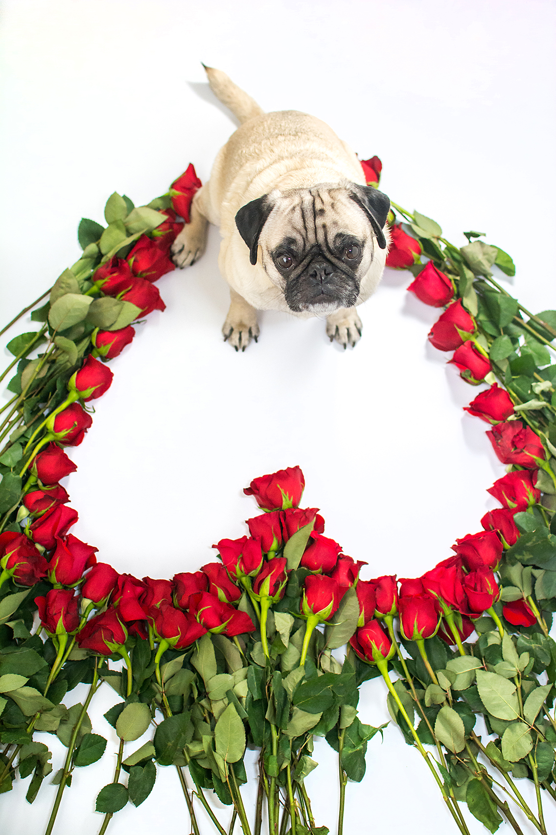 Valentine's Day 50 Roses Pug 6