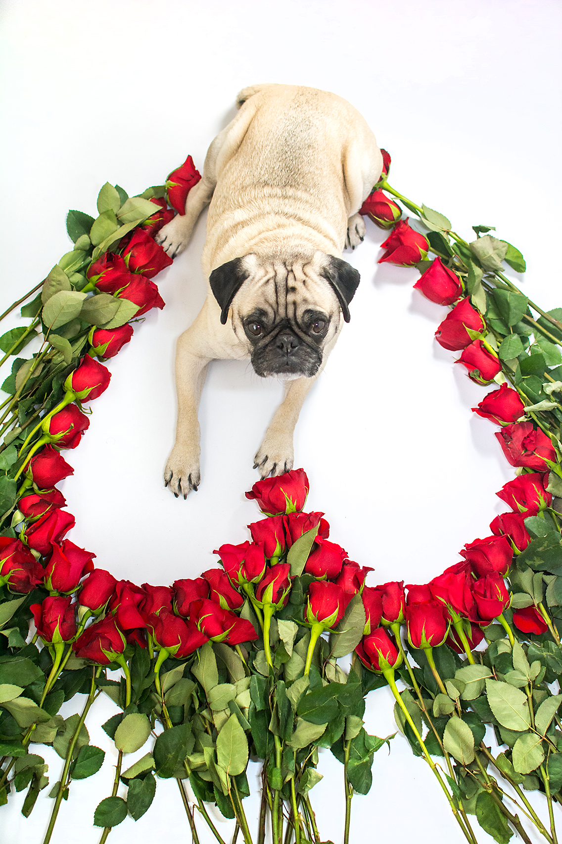 Valentine's Day 50 Roses Pug 8