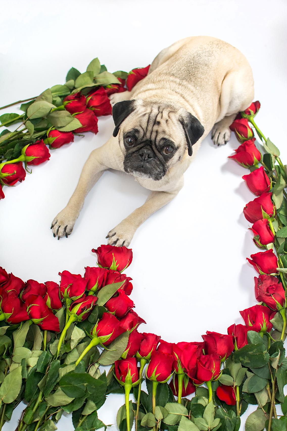 Valentine's Day 50 Roses Pug 10