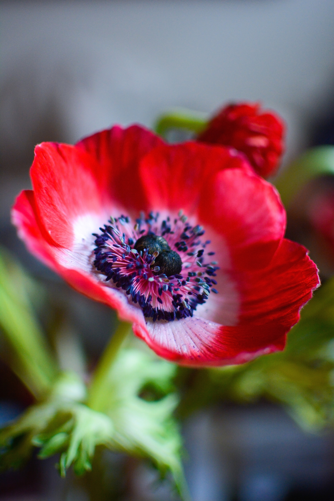 Anemone Flowers 2