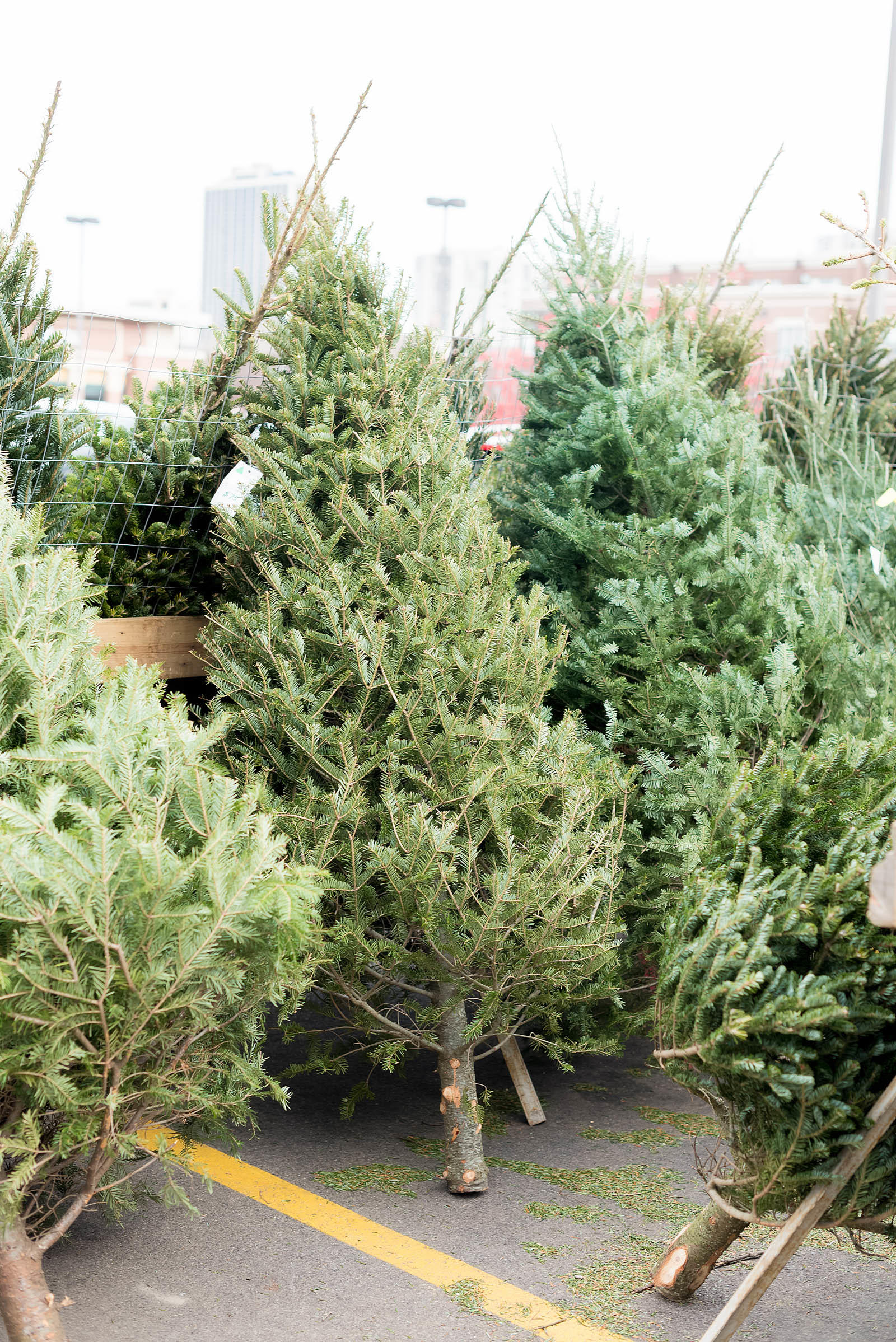 Christmas Tree Farm - Sed Bona