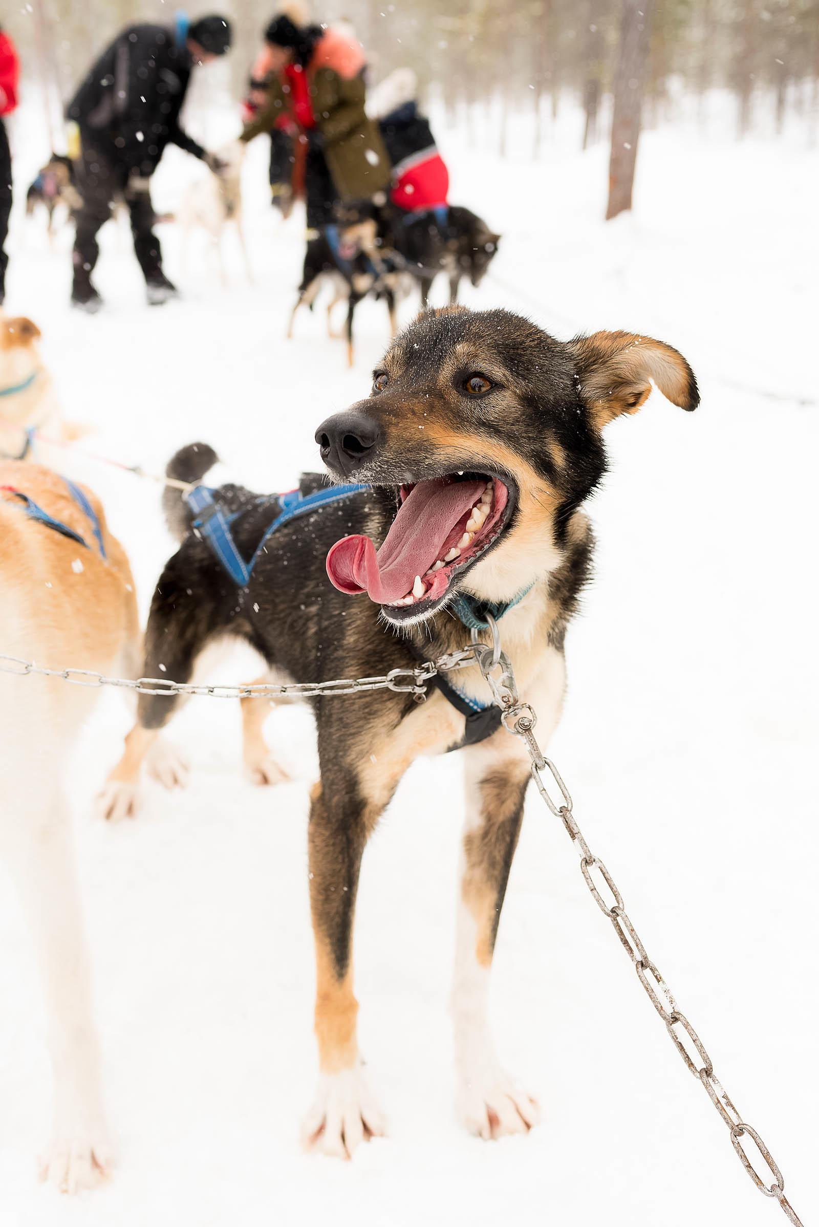 Hotel Riekonlinna Inari Saariselkä Lapland Safaris Finland Dog Sledding