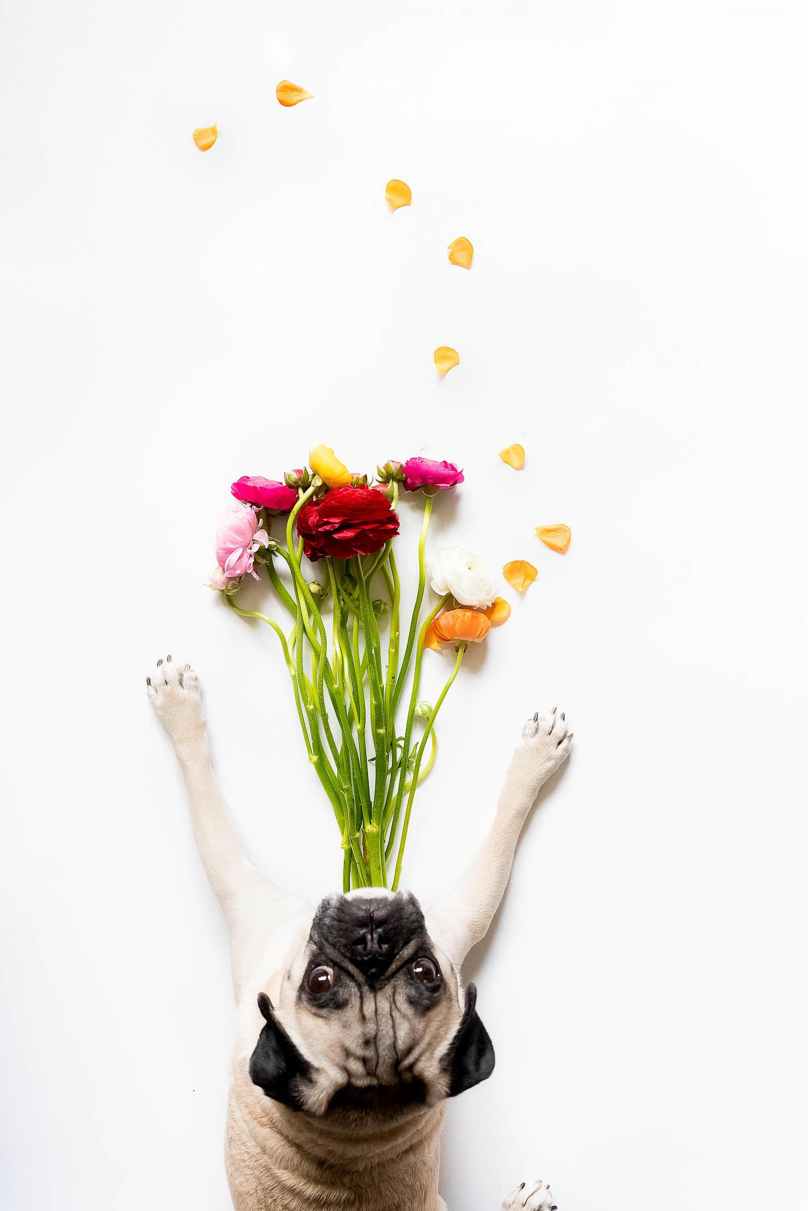 Pug Vase Ranunculus April 2017