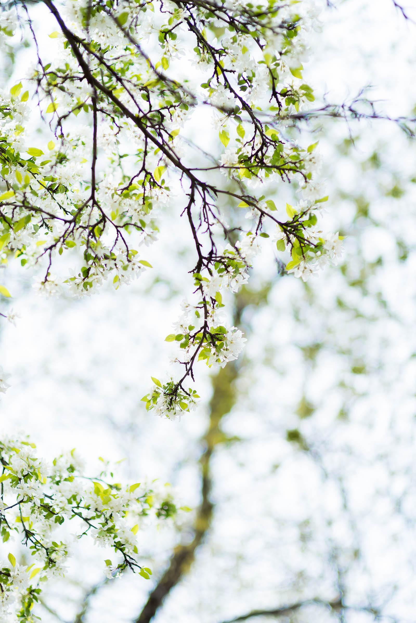 Chicago Spring Flowering Trees 2017